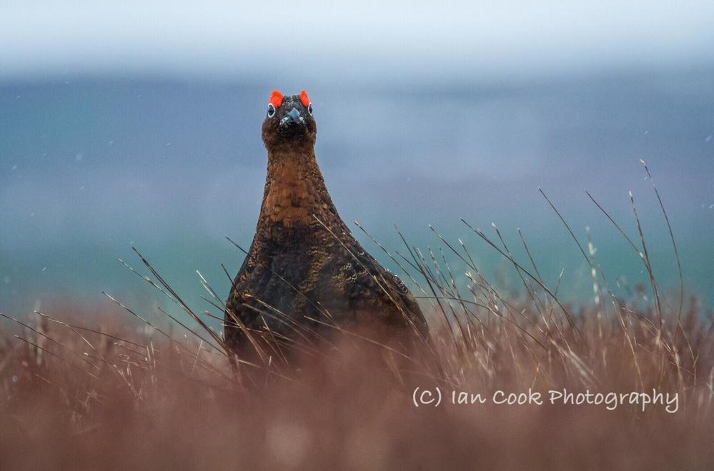 Red Grouse, Scottish Highlands.