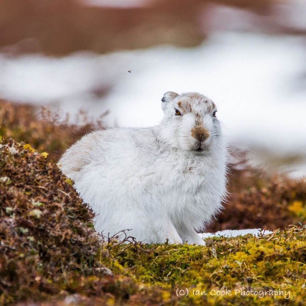 Mountain Hare and a Midgie. Scottish Highlands.