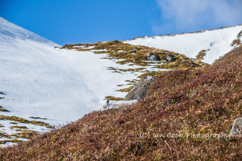 Mountain Hare, Scottish Highlands.