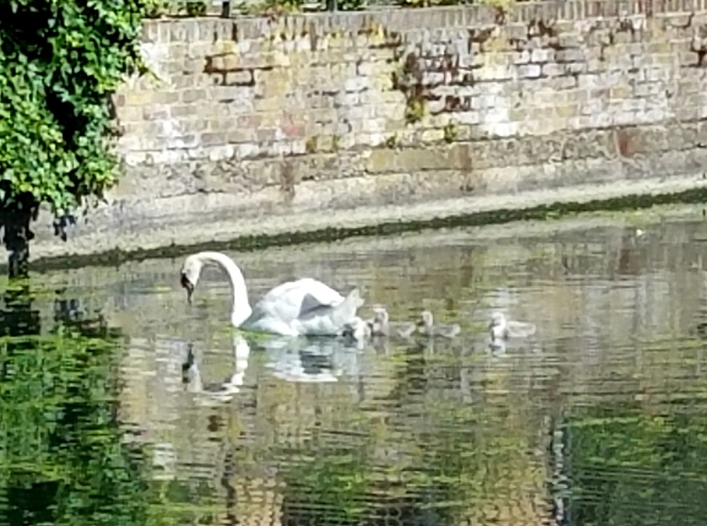Family of swans, London