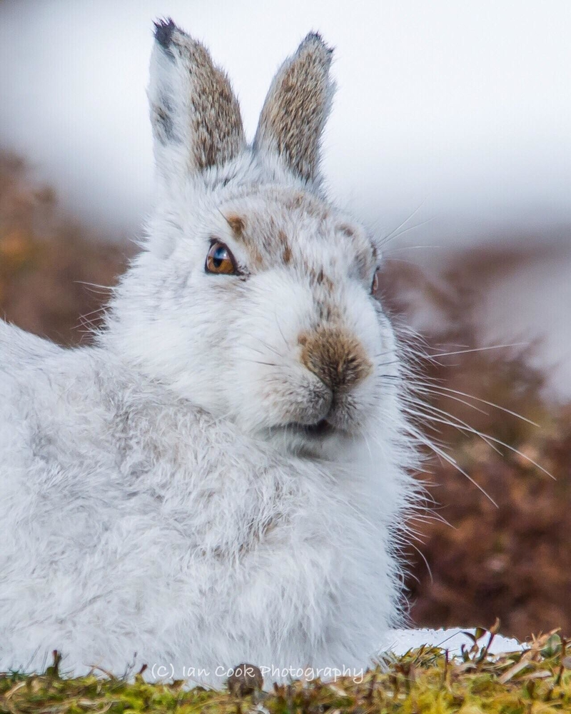 Mr Grumpy! Mountain Hare in his winter coat. Scottish Highlands.