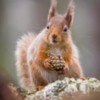 This little Red Squirrel was approximately fifteen feet away from my hide, Sat there for ages! Scottish Highlands.