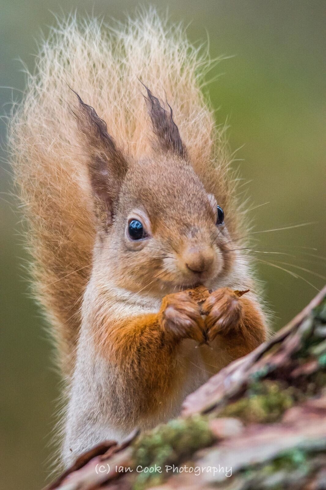 Red Squirrel, Scottish Highlands.