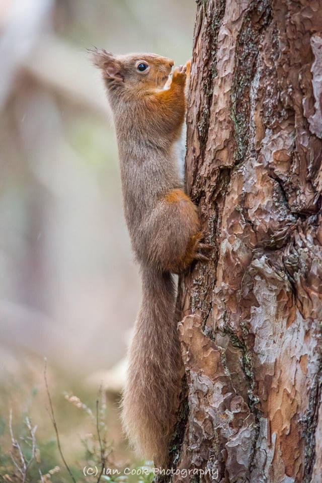 Red Squirrel, Scottish Highlands.