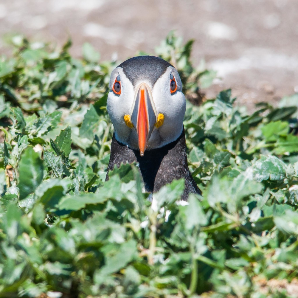 Puffin emerges from its burrow. Staple Island, Farne Islands, Northumberland.
