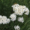 Wildflowers, Tatshenshini -Alsek Provincial Park