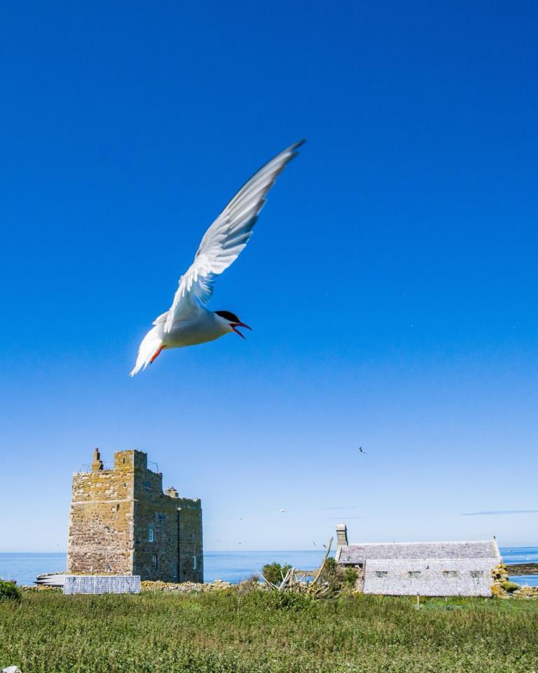 Tern, Farne Islands, Northumberland.