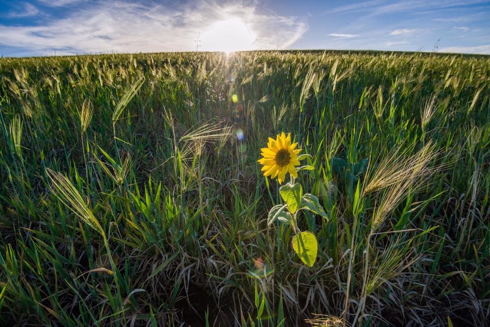 Lone sunflower in barley field. Warkworth Northumberland, taken last week!