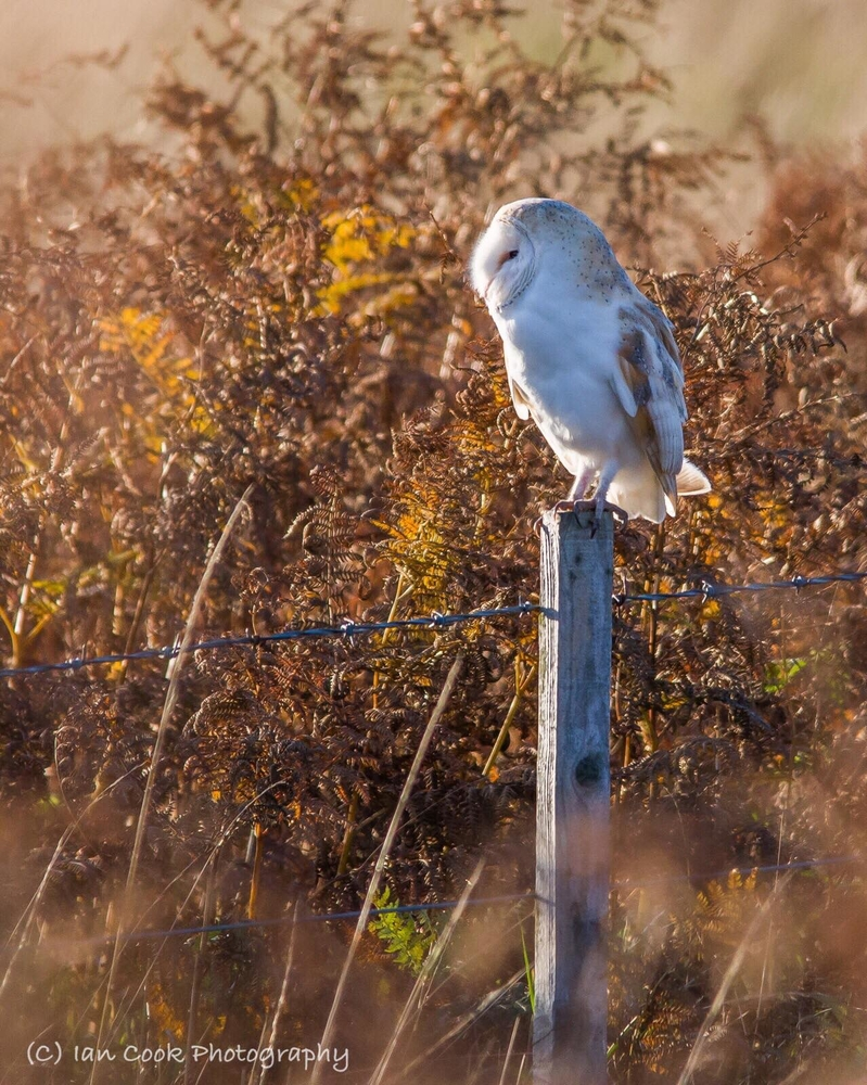 Owl in Northumberland