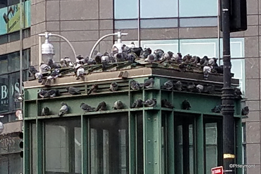 Paradise for Pigeons, NYC
