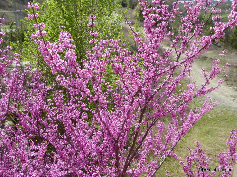 Eastern Redbud in its spring time glory, Branson
