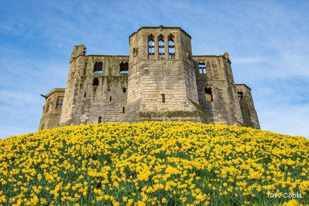 Warkworth Castle Northumberland. Daffodils are now at their best.