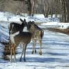 Deer crossing the road, Victoria Beach
