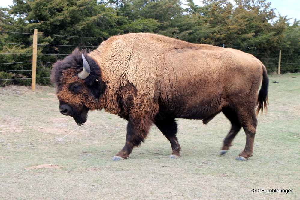 Bison, roaming the Kansas plains
