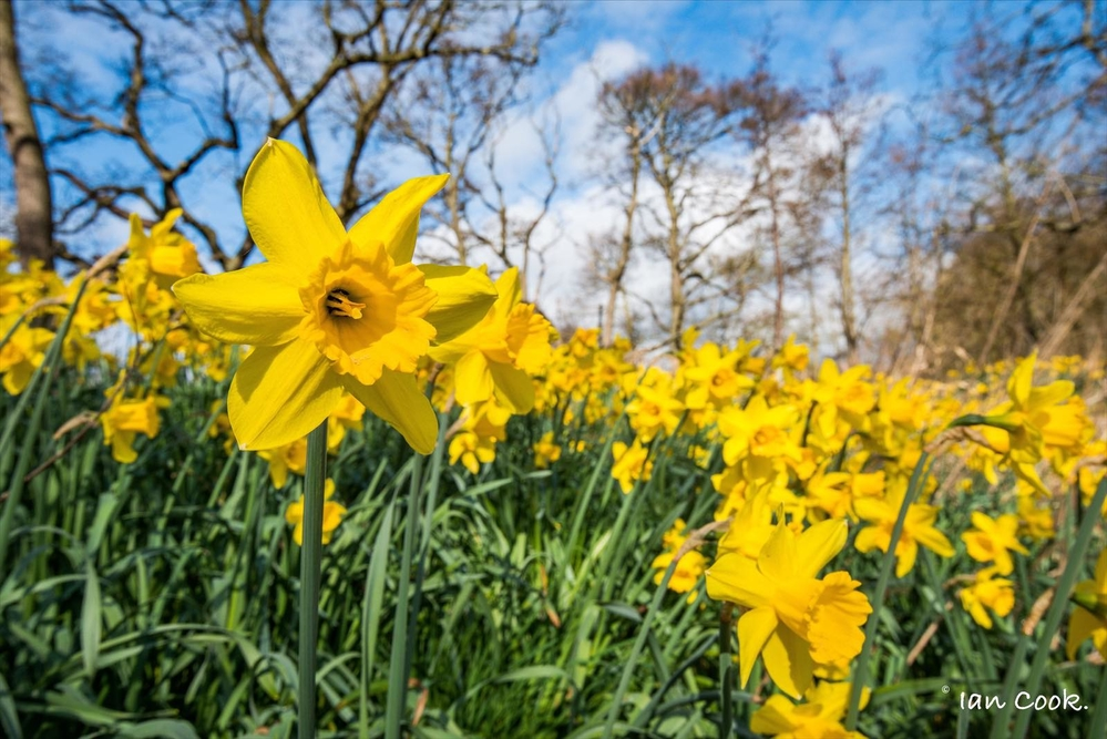 Daffodils along the Aln Valley Northumberland near Alnwick.