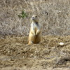 Prairie Dog, part of a large colony, Colorado