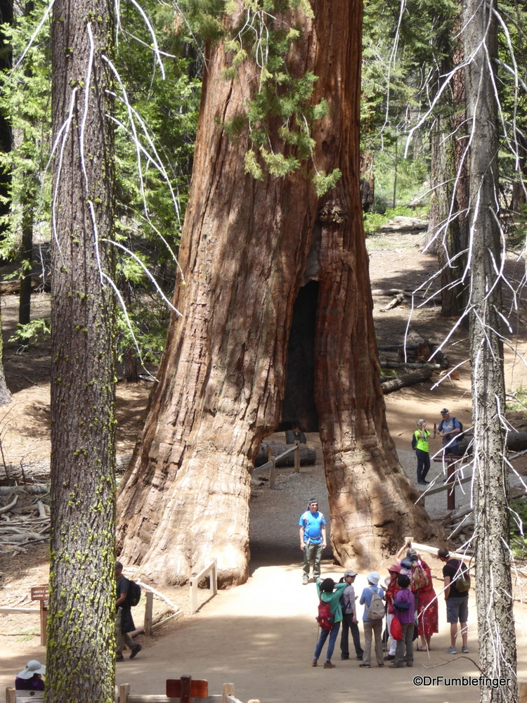 Tunnel Tree, Mariposa Grove of Sequoias, Yosemite National Park