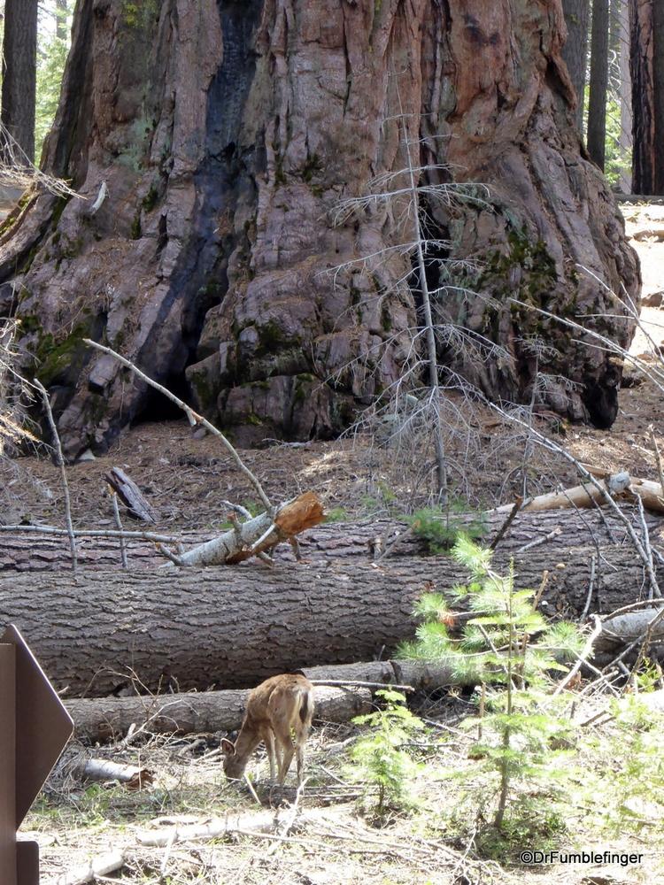 Deer in the Mariposa Grove of Sequoias, Yosemite National Park