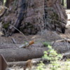 Deer in the Mariposa Grove of Sequoias, Yosemite National Park
