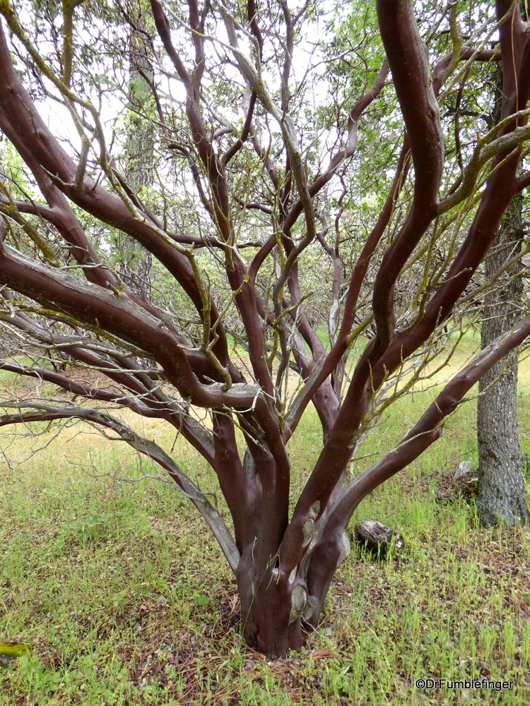Manzanita tree, California