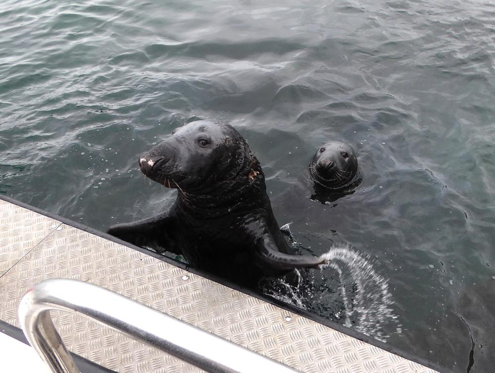 Begging for Fish, Lerwick Harbor
