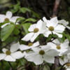 Dogwood is in full bloom in Yosemite National Park