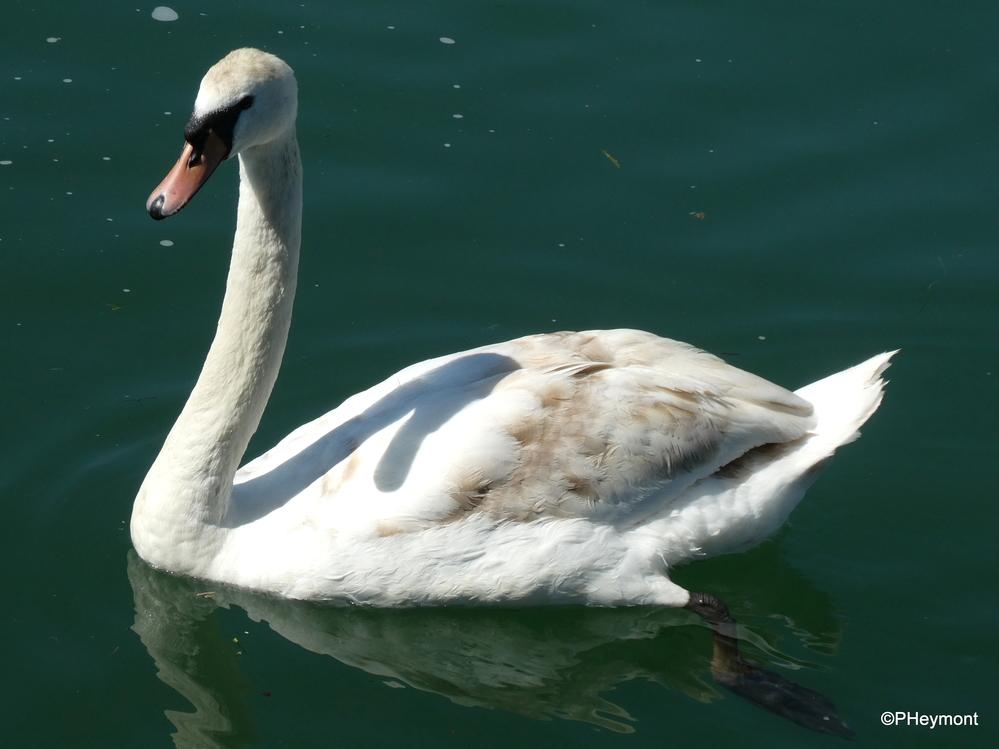 Swan on the Rhine