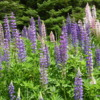 Lupins in bloom, Thunder Bay