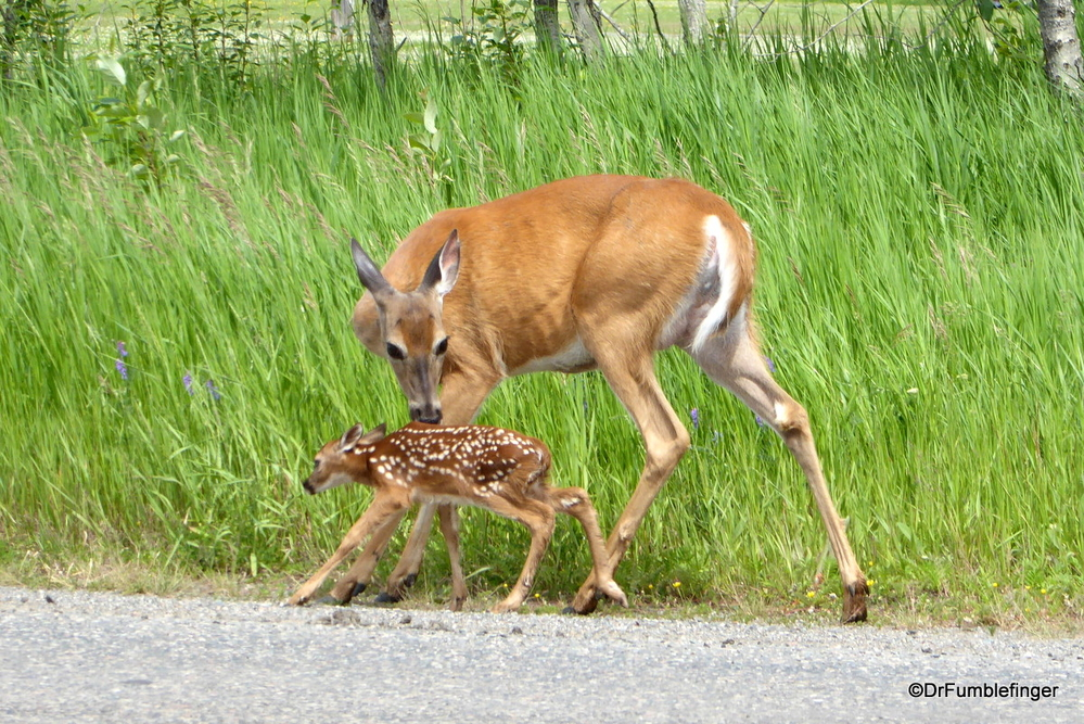 Mother deer and her freshly born fawn, Thunder Bay
