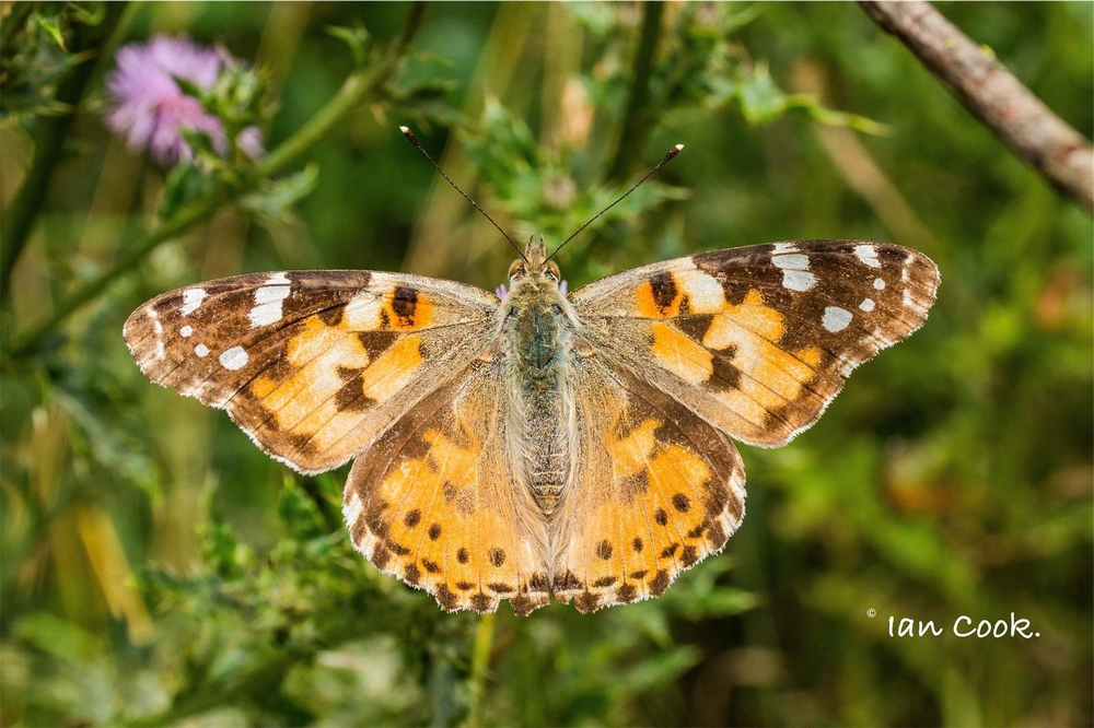 Painted Lady Butterfly, Northumberland.