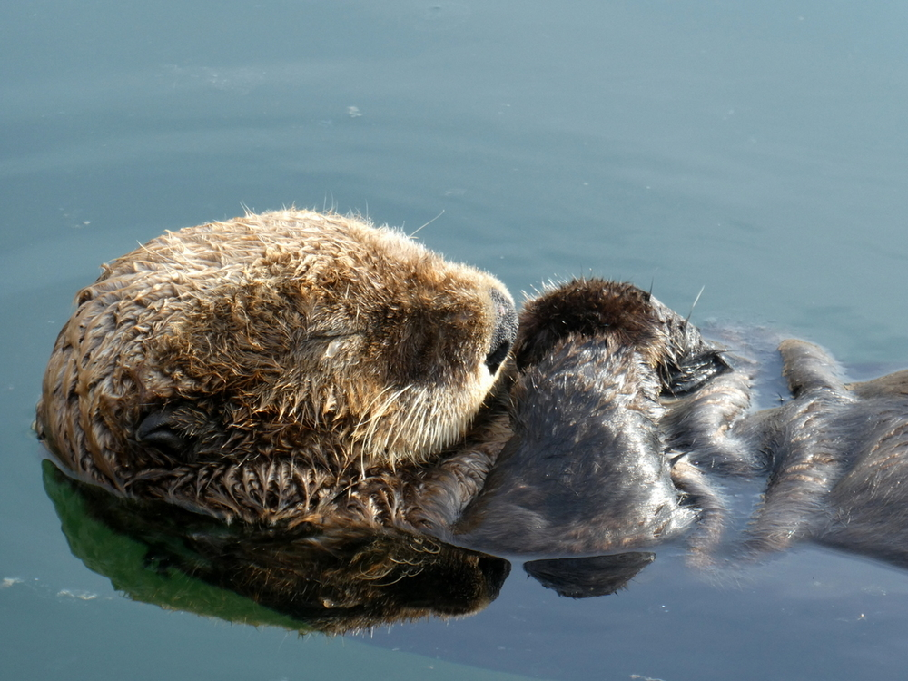 Sea Otter getting some shut-eye