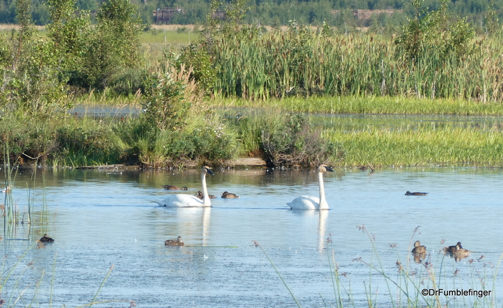 Whistler swans and ducks at Anchorage Coastal Wildlife Refuge