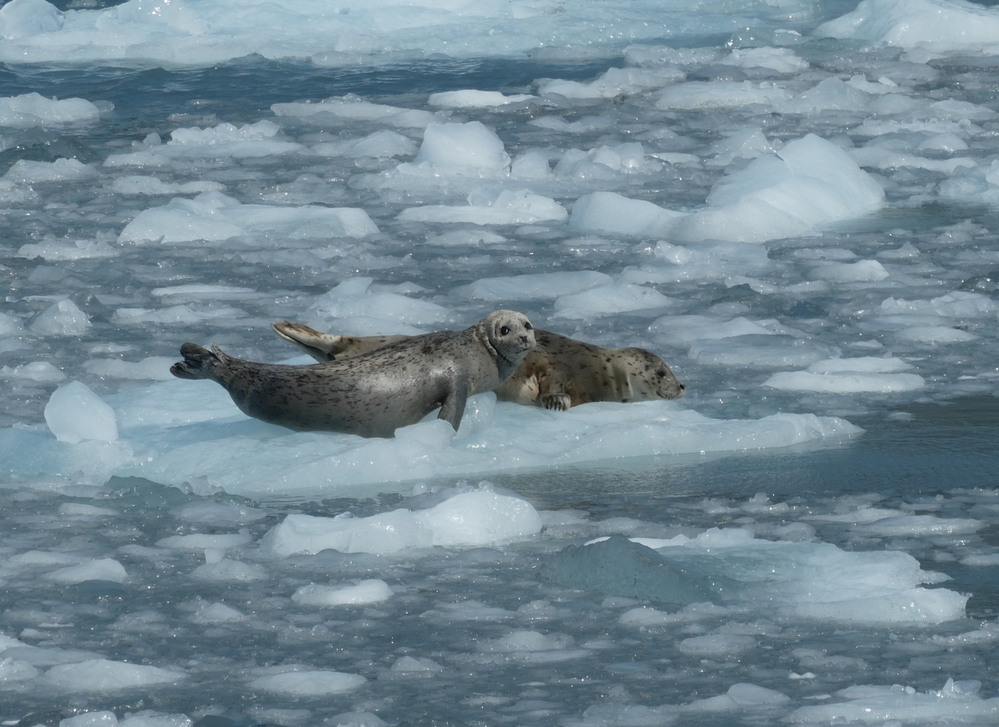 Harbor Seals resting on glacial icefall near Aialak Glacier