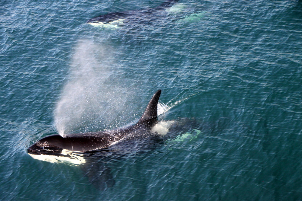 Orcas, Resurrection Bay
