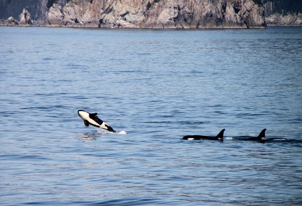 Orcas, Resurrection Bay
