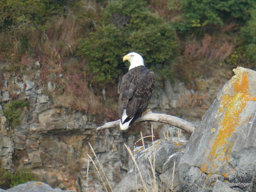 Bald Eagle, Katmai National Park