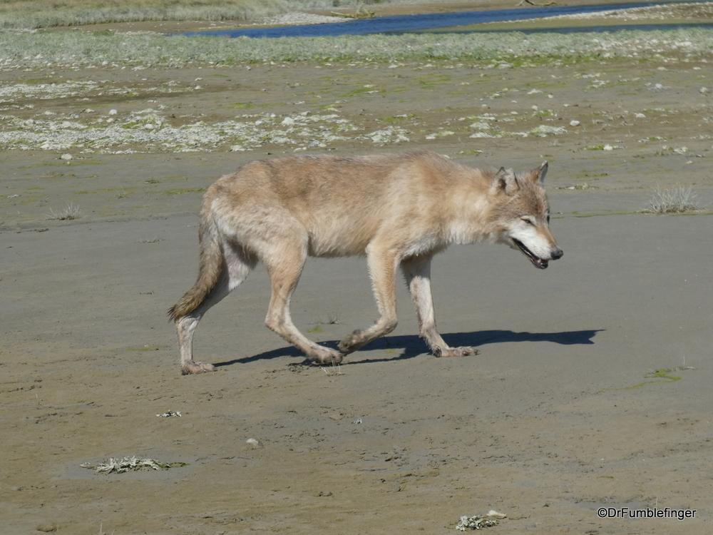 Gray Wolf, Katmai National Park