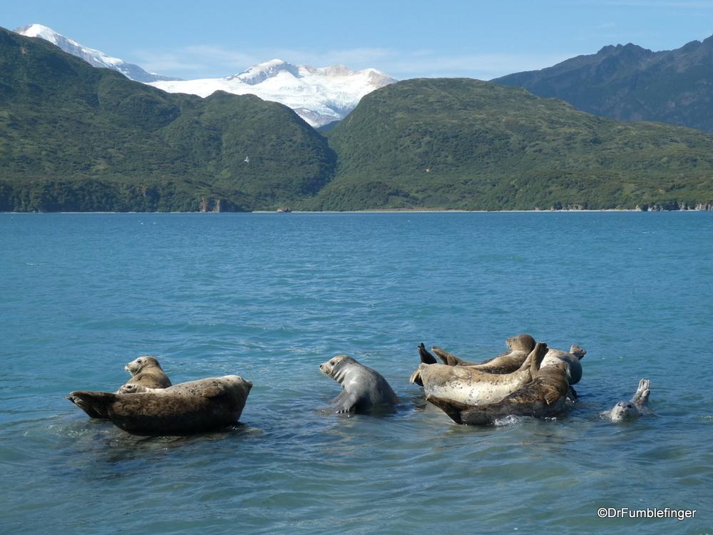 Harbor Seals resting on rocks at high tide, Katmai National Park