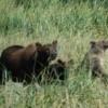 Alaskan Brown (Kodiak) bear and her two spring cubs, Katmai National Park
