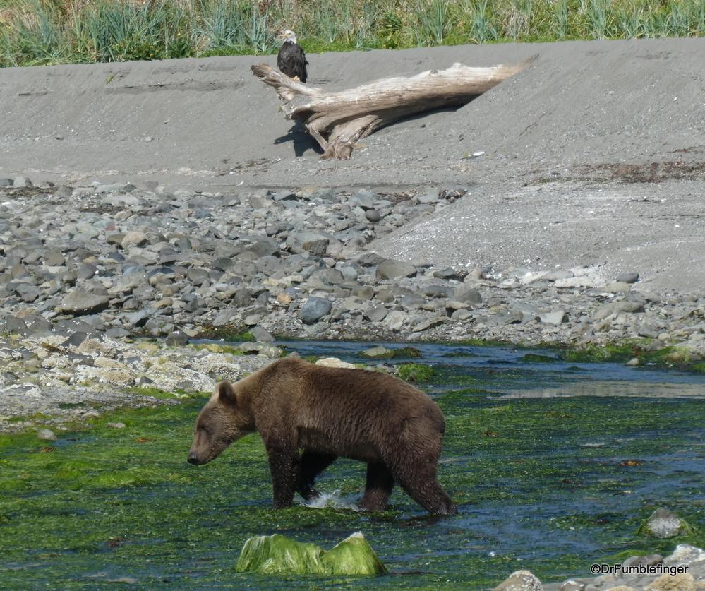 Alaskan Brown (Kodiak) bear fishing at the mouth of a creek, Katmai National Park