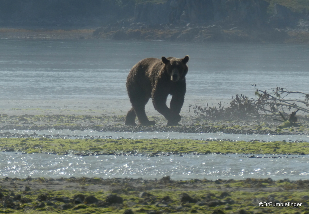 My first glimpse of an Alaskan Brown (Kodiak) bear, Katmai National Park