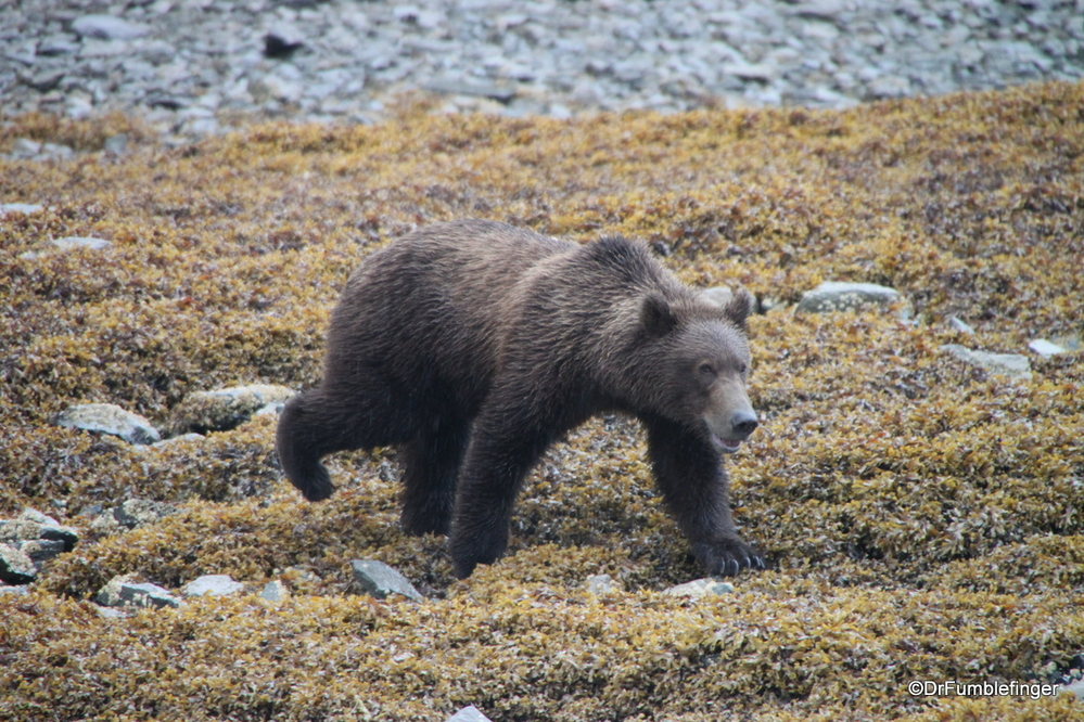 Young Alaskan brown bear searching for small fish and eels among the rocks at low tide, Katmai National Park