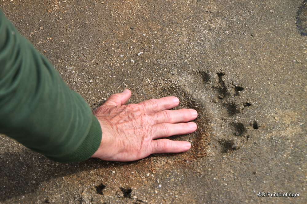 A massive Alaskan brown bear print in Katmai National Park