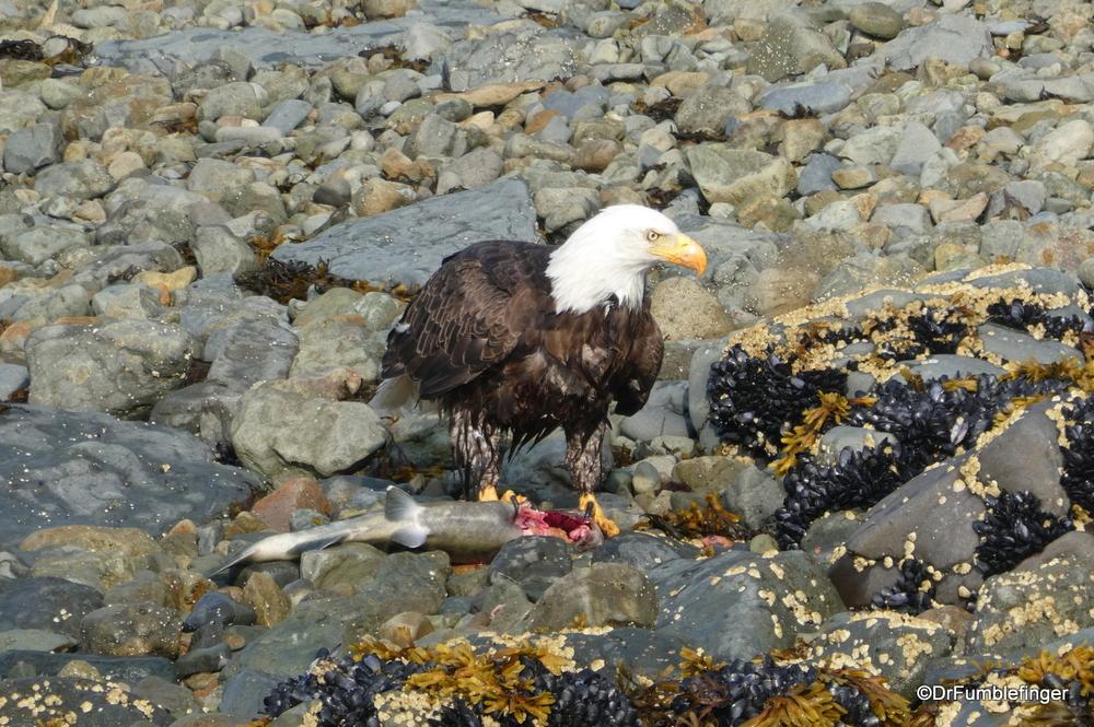 Bald eagle eating a salmon he just caught, Katmai National Park