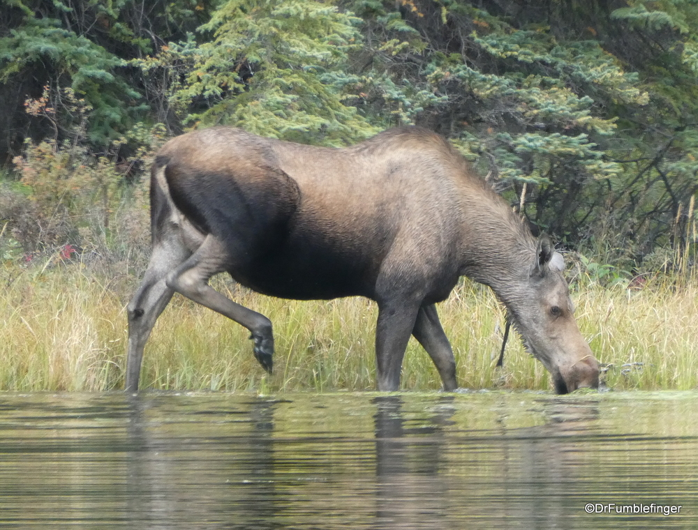 Moose grazing on plants in Horseshoe Lake, Denali National Park