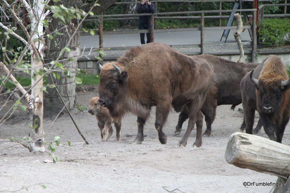 European Bison from the Nordic Animals exhibit at the Skansen, Stockholm