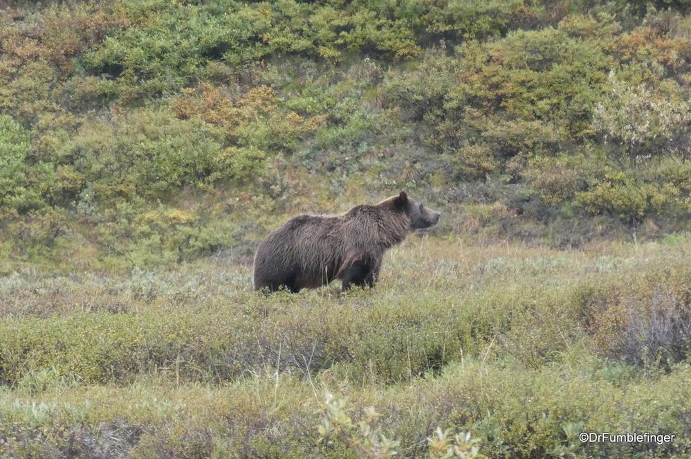 Grizzly Bear, Denali National Park