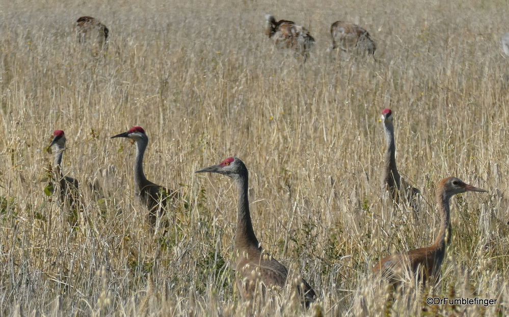 Sandhill Cranes preparing to migrate south, Fairbanks
