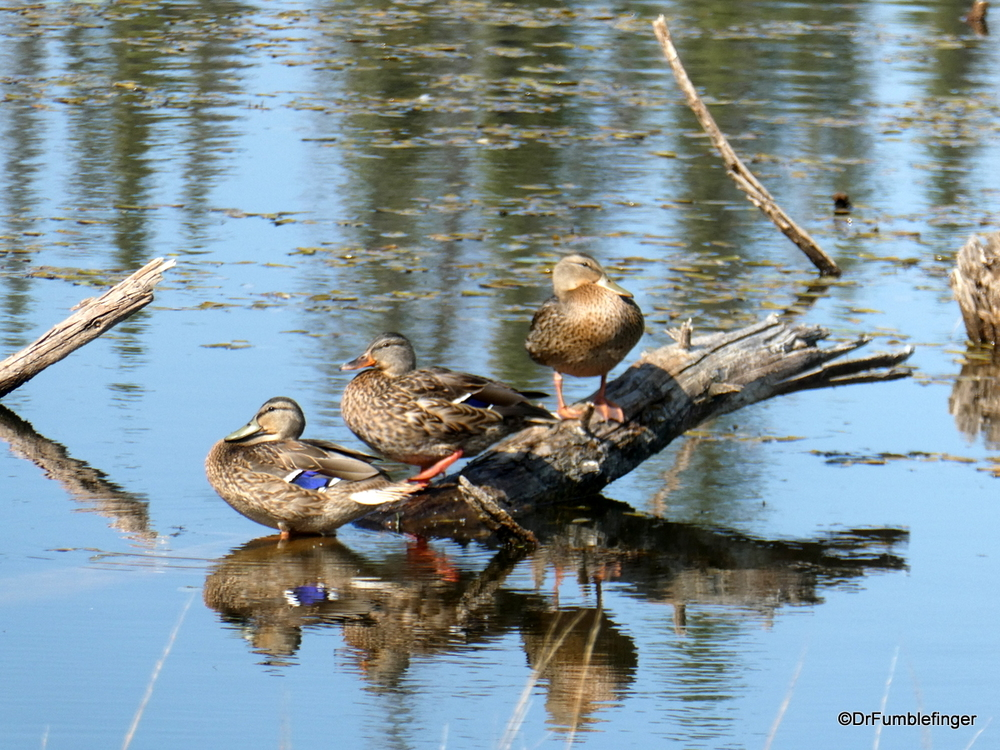 Ducks spotted in Wrangell-St. Elias National Park