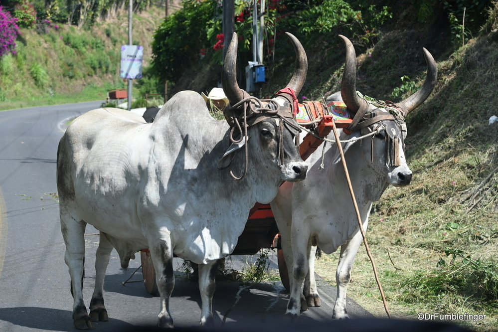 Traditional ox cart pulling load of coffee beans, Costa Rica